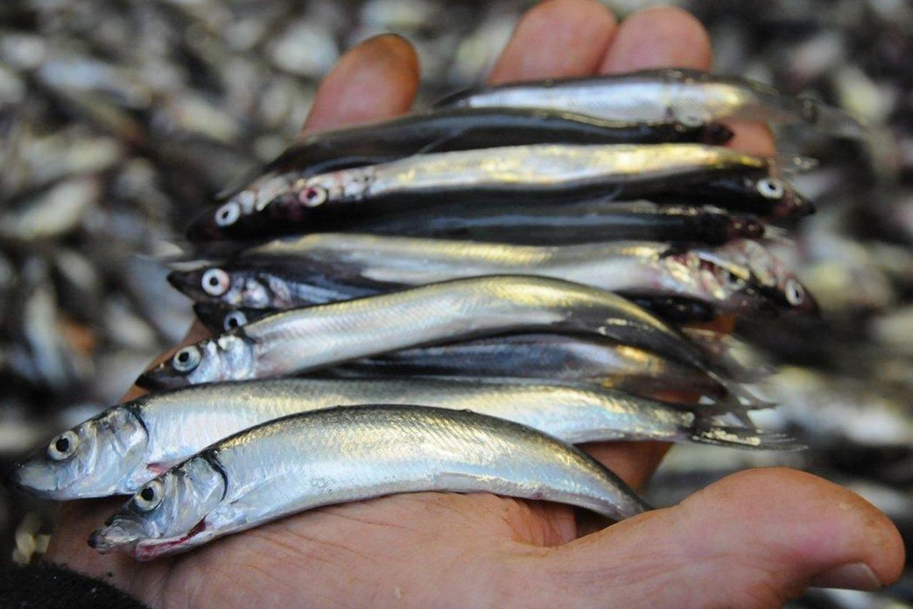 Frarår loddefiske