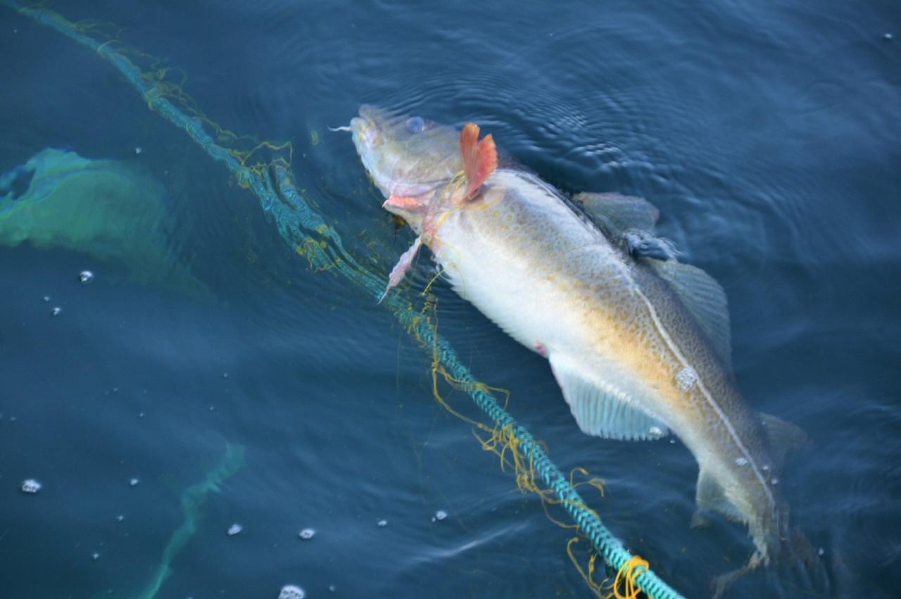 Overføring av torskekvote